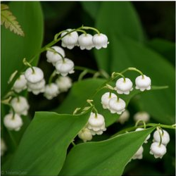 May - Lily-of-the-Valley